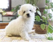 Bichon Frise Puppies-Fully Vaccinated