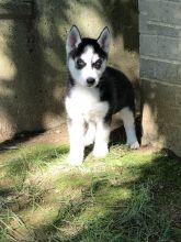 For Re-homing: Siberian Huskies