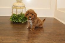 For Re-homing: Toy Poodles