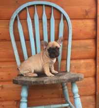French Bulldog Puppies-Fully Vaccinated