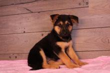 German Shepherd Puppies, CKC Registered