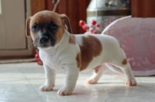 Jack Russell Terrier Puppies-Fully Vaccinated