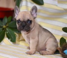Only 2 left! Adorable French Bulldog Puppies!