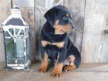 Rottweiler Puppies, CKC Registered