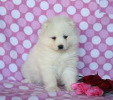 Samoyed Puppies, CKC Registered
