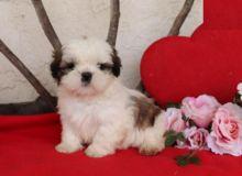 Shih Tzu Puppies, CKC Registered