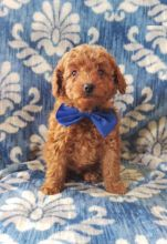 Toy Poodle Puppies, CKC Registered