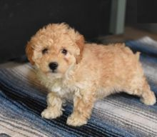 Two Toy Poodle Puppies