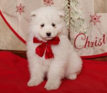 For Re-homing: Samoyed Image eClassifieds4U