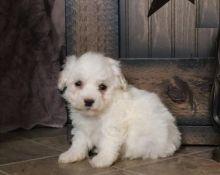 Beautiful Bichon Frise Puppies (CKC Registration)