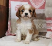Beautiful Cavalier King Charles Spaniel Puppies (CKC Registration)