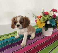 Cavalier King Charles Spaniel Puppies-Fully Vaccinated