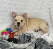 Exceptional French Bulldog Pups to Approved Homes ONLY!