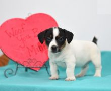 Exceptional Jack Russell Terrier Pups to Approved Homes ONLY!