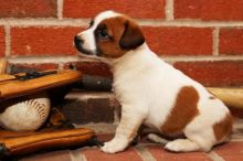 Only 2 left! Adorable Jack Russell Terrier Puppies!