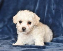 Quality Bichon Frise, males and females