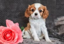 Quality Cavalier King Charles Spaniel, males and females