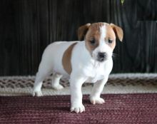 Quality Jack Russell Terrier, males and females