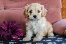 Beautiful Cavachon Puppies (CKC Registration)