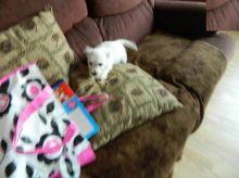 Beautiful Westie Puppies (CKC Registration)
