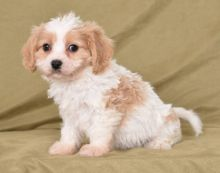 Cavachon Puppies-Fully Vaccinated