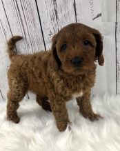 Cavapoo Puppies-Fully Vaccinated