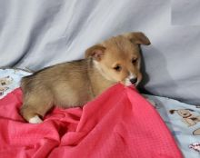 Corgi Puppies-Fully Vaccinated