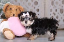 Exceptional Morkie Pups to Approved Homes ONLY!