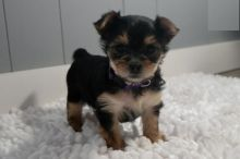 Morkie Puppies-Fully Vaccinated