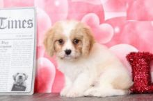 Only 2 left! Adorable Cavachon Puppies!
