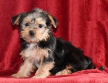 Only 2 left! Adorable Morkie Puppies!