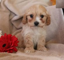 Quality Cavachon, males and females
