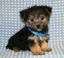 Quality Morkie, males and females