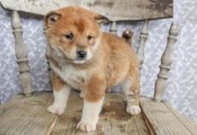 Quality Shiba Inu, males and females