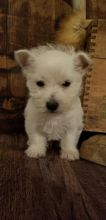 Westie Puppies-Fully Vaccinated