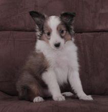 Beautiful Sheltie Puppies (CKC Registration) Image eClassifieds4U