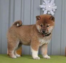 Beautiful Shiba Inu Puppies (CKC Registration) Image eClassifieds4U