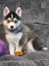 Exceptional Pomsky Pups to Approved Homes ONLY! Image eClassifieds4U