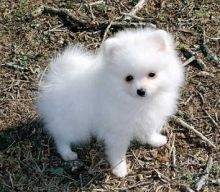 ••••••Adorable Pomeranian Puppy 13 weeks old•••••(508) 443-1867
