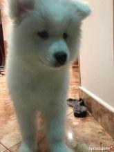 ✔ ✔Amazing Samoyed puppies, a male and female Text us (ruthplug@gmail.com)