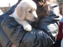 ✿✿ Adorable Golden Retriever puppies ✿✿ contact us at ruthplug@gmail.com Image eClassifieds4U