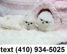 Super cute tiny t-cup pomeranian puppies for sale!