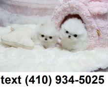 Super cute tiny t-cup pomeranian puppies for sale! Image eClassifieds4U