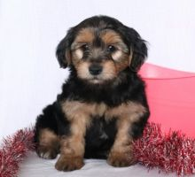 Toronto - GTA Morkie : Dogs, Puppies for Sale Classifieds at
