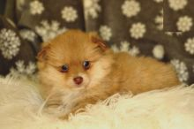 Beautiful Pomeranian Puppies (CKC Registration)