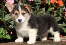 Brilliant Pembroke welsh corgi puppies for sale:Call or Text (709)-500-6186 or ( mispaastro@gmail.c