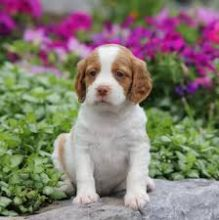 Brittany Spaniel Puppies:Call or Text (709)-500-6186 or ( mispaastro@gmail.com )