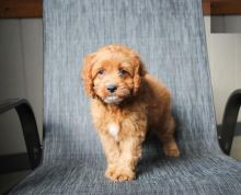 Exceptional Cavapoo Pups to Approved Homes ONLY!