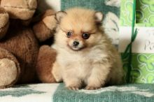 Exceptional Pomeranian Pups to Approved Homes ONLY!