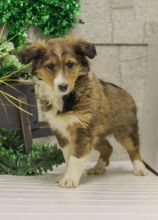 Exceptional Sheltie Pups to Approved Homes ONLY!